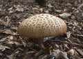 Toadstool brown growing out of bark covered soil Stock Photo