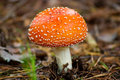 Toadstool close up of a red Royalty Free Stock Image