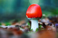 Toadstool fly agaric in moss Stock Photos