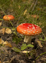 Toadstool at the forest Royalty Free Stock Photo