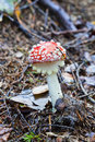 Toadstool  in  forest Royalty Free Stock Photo