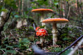Toadstool the in the forest Stock Image