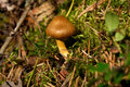Toadstool in Moss Royalty Free Stock Photography