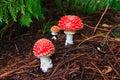 Toadstool Mushrooms Royalty Free Stock Photo