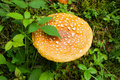 Toadstool rare yellow in the grass Stock Images