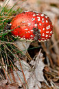 Toadstool signs of autumn in the netherlands on the forrest floor Stock Image