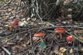 Toadstools and branches amanita mushrooms dry dry leaves Royalty Free Stock Photography