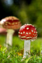 Toadstools colorful in a meadow Royalty Free Stock Images