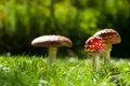 Toadstools colorful in a meadow Royalty Free Stock Photography