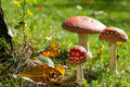 Toadstools colorful in a meadow Royalty Free Stock Image
