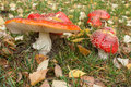 Toadstools With Fallen Leaves