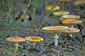 Toadstools in the forest many growing Royalty Free Stock Photos