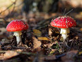 Toadstools Royalty Free Stock Photo