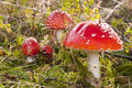 Toadstools in grass Royalty Free Stock Image