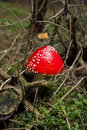 Toadstools or red amanita in the wood one Royalty Free Stock Photo