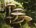 Toadstools on tree Royalty Free Stock Photo