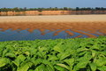 Tobacco farm Mekong riverside Royalty Free Stock Photography