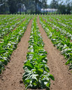 Tobacco Field Royalty Free Stock Photo