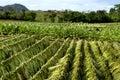 Tobacco field in Cuba Royalty Free Stock Photo