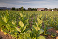 Tobacco field in cuba cuban village vinales Stock Image