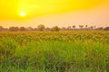 Tobacco field on the morning,Thailand Royalty Free Stock Images