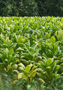 Tobacco Field Vertical Royalty Free Stock Photos