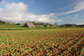 Tobacco field in Vinales, Cuba Royalty Free Stock Photo