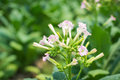Tobacco Flowers In Farm Plant Royalty Free Stock Photo