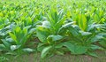 Tobacco green field in thailand Royalty Free Stock Image