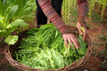 Tobacco harvest close up of harvested oriental leaves in a wicker basket with workers hands Royalty Free Stock Image