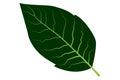 Tobacco leaf vector