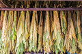 Tobacco leaves drying in the shed. Royalty Free Stock Photo