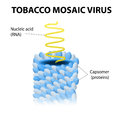Tobacco mosaic virus schematic model of tmv the first to ever be discovered and key to gene therapy Stock Image