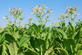 Tobacco plant Stock Photography