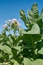 Tobacco plant in bloom Stock Photo