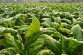 Tobacco plant in farm of thailand Stock Photography