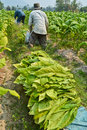 Tobacco plant and farmer in farm of thailand Stock Image