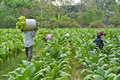 Tobacco plant and farmer in farm of thailand Royalty Free Stock Photography