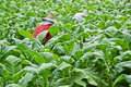 Tobacco plant and farmer in farm of thailand Stock Photo