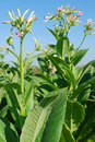 Tobacco plant with flower Royalty Free Stock Photography