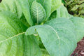 Tobacco plant Royalty Free Stock Photo