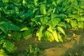 Tobacco Plants Stock Images