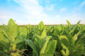 Tobbaco plantation in poland tobacco on a sunny summer day Royalty Free Stock Photo