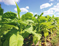 Tobbaco plantation in poland tobacco on a sunny summer day Stock Photography