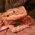 Toby my male bearded dragon he is just over a year old and he is a special breed of dragon Stock Photos