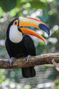 Toco toucan a pair of ramphastos or with their typical huge orange bill blue ring on its eyes and black plumage itatiba zoo Stock Image