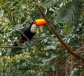 Toco toucan sits on brance in tree in the wilds of Pantanal Royalty Free Stock Photo