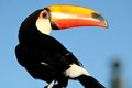 Toco Toucan Turns Its Back Stock Photo