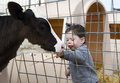 Toddler boy feeding a calf cute Stock Photo