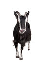 Toggenburg goat on the white isolated background Stock Image